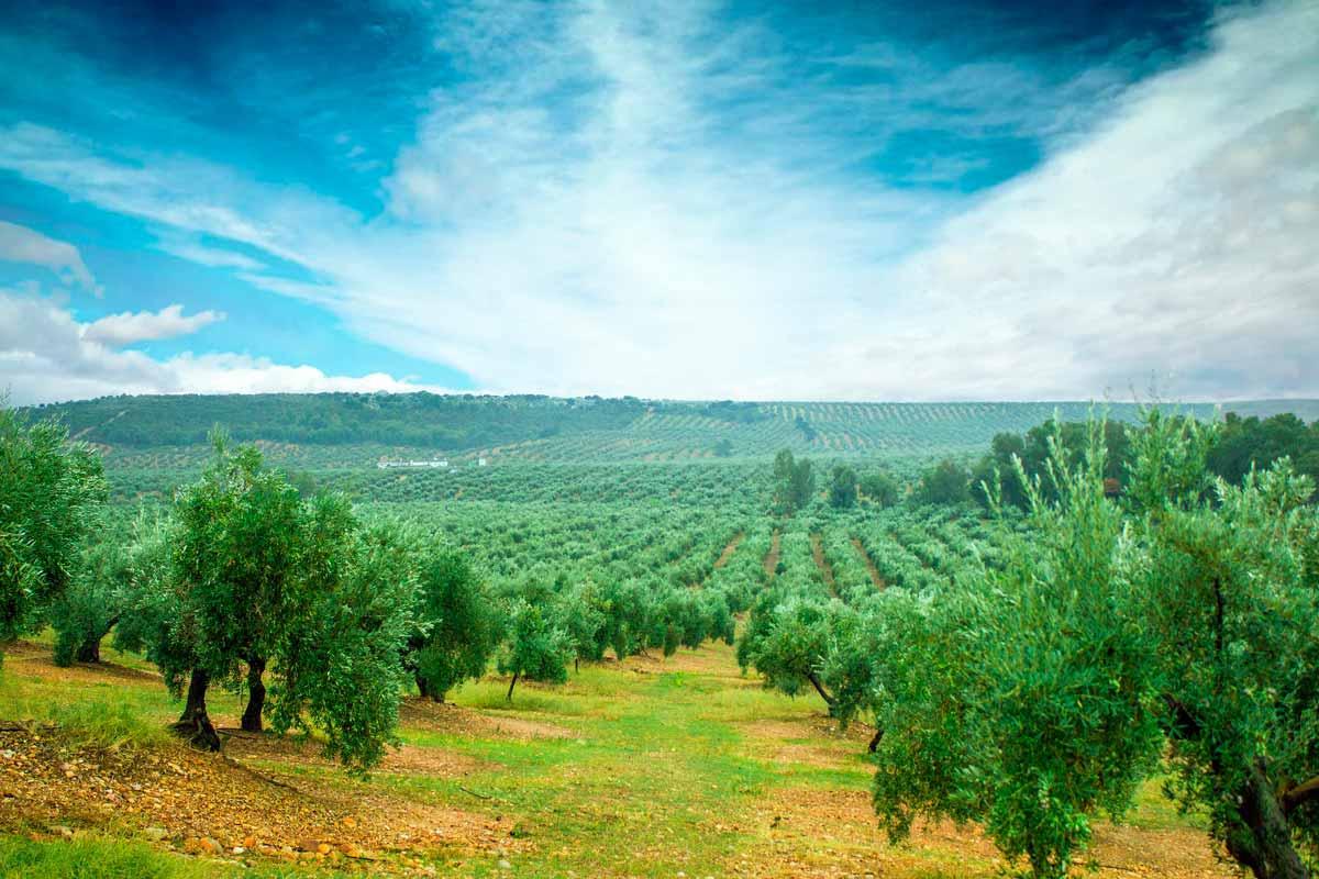 senderismo-entre-olivos